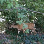 Local Deers